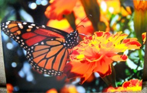 MonarchMarigold